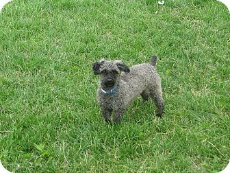Miniature Poodle Dog for adoption in Prole, Iowa - Bo
