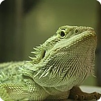 Adopt A Pet :: Drago - Ann Arbor, MI