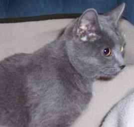 Domestic Shorthair Cat for adoption in Feeding Hills, Massachusetts - Sophia