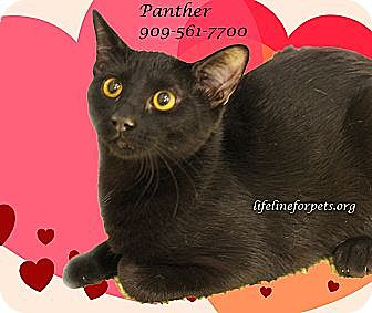 Domestic Shorthair Cat for adoption in Monrovia, California - A Young Male: PANTHER