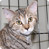 Domestic Shorthair Cat for adoption in Winston-Salem, North Carolina - Lucy