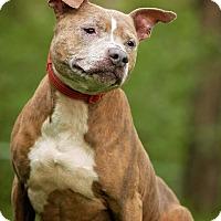 American Staffordshire Terrier/American Pit Bull Terrier Mix Dog for adoption in Cincinnati, Ohio - Brooklyn - SPONSORED