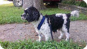 Shih Tzu Mix Dog for adoption in Richmond, Virginia - Sammy