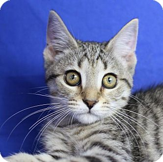 Domestic Shorthair Kitten for adoption in Winston-Salem, North Carolina - Sally
