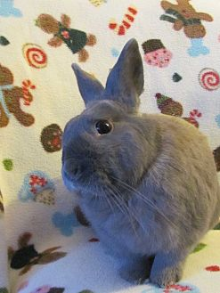 Netherland Dwarf Mix for adoption in Williston, Florida - Levi