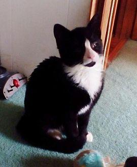Domestic Shorthair Cat for adoption in Asheville, North Carolina - Megamind