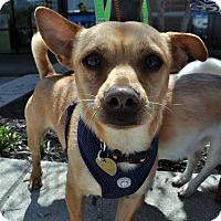 Adopt A Pet :: Pierre Smalls - Fairfax Station, VA