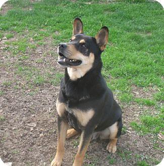 German Shepherd Dog/Shepherd (Unknown Type) Mix Dog for adoption in Chicago, Illinois - Heinz