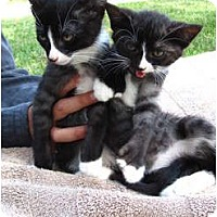 Adopt A Pet :: Georgio and Armani - lake elsinore, CA