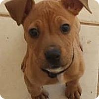 Adopt A Pet :: Pan - Phoenix, AZ