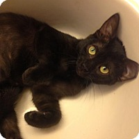 Bombay Cat for adoption in St. Cloud, Florida - Teeny