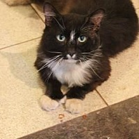 Domestic Longhair Cat for adoption in New York, New York - Staggi