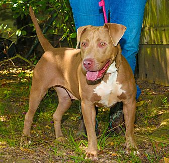 American Pit Bull Terrier/Weimaraner Mix Dog for adoption in Houston, Texas - Lola