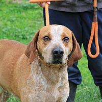 Redtick Coonhound Mix Dog for adoption in Martinsville, Indiana - Brimley