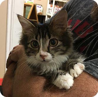 Domestic Mediumhair Cat for adoption in Loogootee, Indiana - Legend