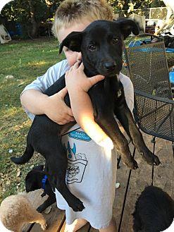 Labrador Retriever Mix Puppy for adoption in Boerne, Texas - Puppy