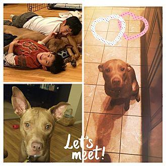 Vizsla/Labrador Retriever Mix Dog for adoption in Hicksville, New York - Maria
