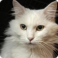 Domestic Longhair Cat for adoption in Gettysburg, Pennsylvania - Bella