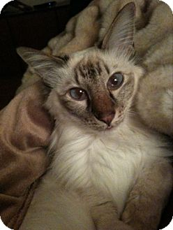 Balinese Cat for adoption in Harrison, New York - Henry