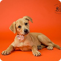 Adopt A Pet :: Tink - Coppell, TX