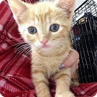 Adopt A Pet :: Amber - River Edge, NJ