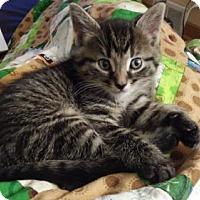 Adopt A Pet :: Bellamy - St Paul, MN