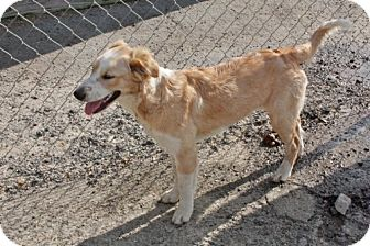 Golden Retriever/Australian Kelpie Mix Dog for adoption in Southampton, Pennsylvania - Olivya