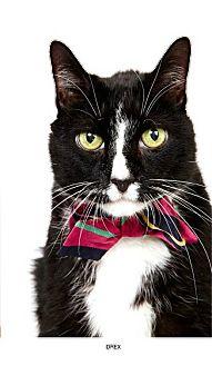 Domestic Shorthair Cat for adoption in New York, New York - Drex