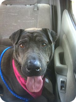 Shar Pei Dog for adoption in Mira Loma, California - Laika