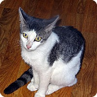 Domestic Shorthair Cat for adoption in Palm City, Florida - Winter