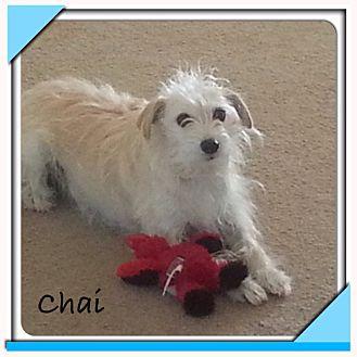 Scottie, Scottish Terrier Mix Dog for adoption in San Antonio, Texas - Chai