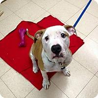 Adopt A Pet :: Dottie - Plainfield, IL