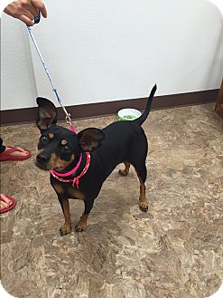 Miniature Pinscher Dog for adoption in Wichita Falls, Texas - Angel