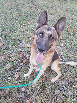 German Shepherd Dog Dog for adoption in Louisville, Kentucky - Rex