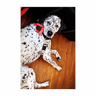 Dalmatian Dog for adoption in Orange, California - Lotus
