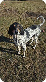 Bluetick Coonhound Mix Dog for adoption in Indianola, Iowa - Blu