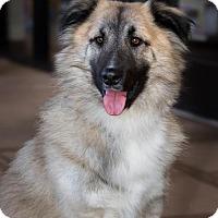 German Shepherd Dog Mix Dog for adoption in Garner, North Carolina - Klaus - Foster to Adopt