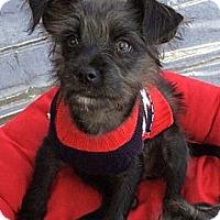 Adopt A Pet :: Mugsy - La Habra Heights, CA