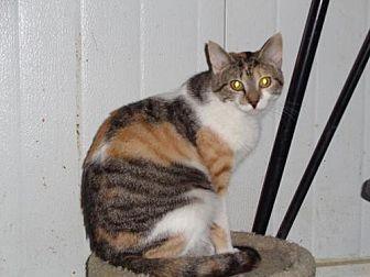 Calico Cat for adoption in Watsontown, Pennsylvania - Cabernet