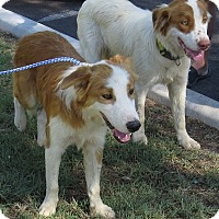 Adopt A Pet :: Lewis and Clark - Scottsdale, AZ