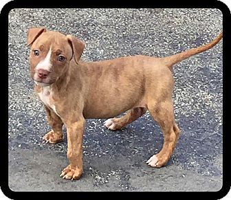 Pit Bull Terrier Mix Puppy for adoption in Warrenville, Illinois - Indica