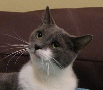 Domestic Shorthair Cat for adoption in Dundee, Michigan - Elle