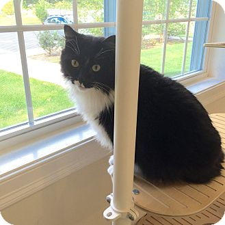 Domestic Shorthair Cat for adoption in Peace Dale, Rhode Island - Mio