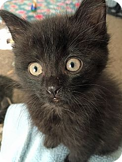 Domestic Shorthair Kitten for adoption in Troy, Michigan - Hershey Kiss