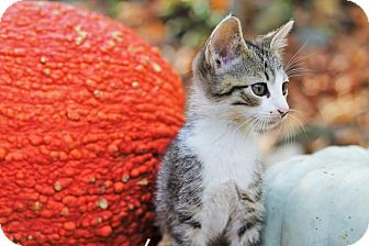 Domestic Shorthair Kitten for adoption in Homewood, Alabama - Fili