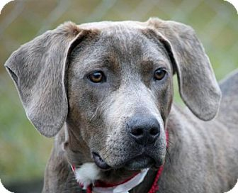 Weimaraner/Plott Hound Mix Dog for adoption in Asheville, North Carolina - Sully