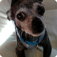 Adopt A Pet :: Joey - San Diego, CA
