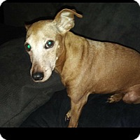 Miniature Pinscher Dog for adoption in Malaga, New Jersey - Trixie (Courtesy Post)