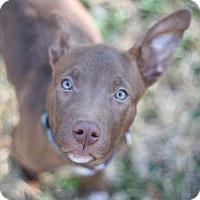 Adopt A Pet :: Remy - HARRISBURG, PA