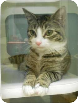 Domestic Shorthair Cat for adoption in Maywood, New Jersey - Peggy